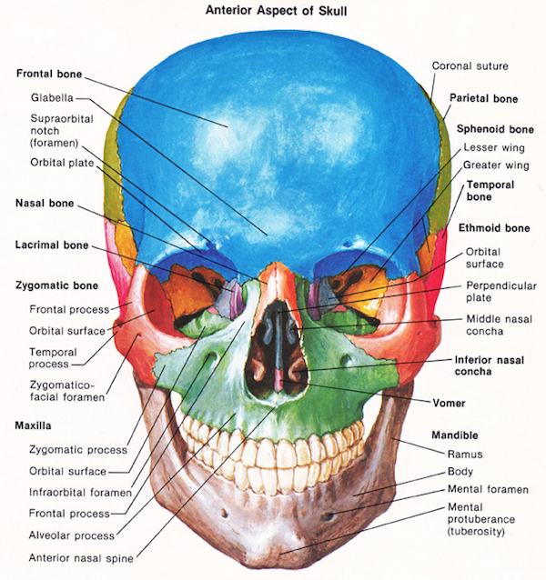 Anterior Aspect of the Skull
